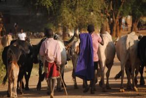 Kühe in Karamoja