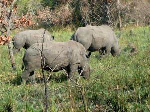 Nashörner in Uganda