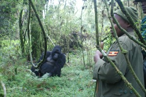 Gorillas im Mgahinga Nationalpark